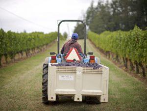 Union Wine harvest