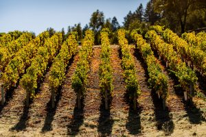Harvest at Vineyard 29 with vintrace